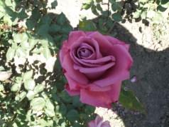 Rosa 'Embruixada'