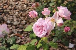 Rosa 'Tarde Gris'