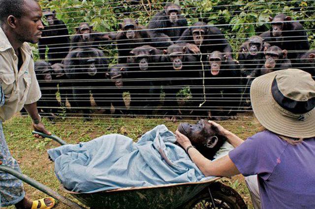 chimpfuneral