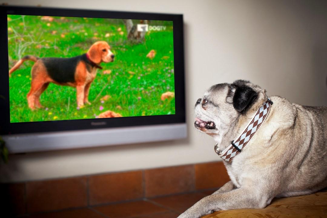 DogTV pug