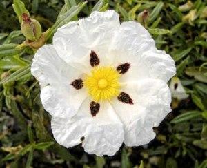 jara pringosa (Cistus ladani- fer)