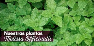 Nuestras plantas: Melissa Officinalis (toronjil)