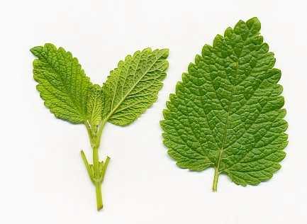 hojas de melisa