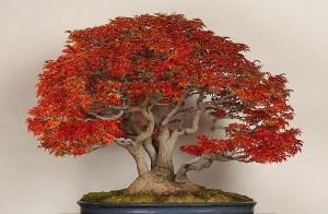 arce palmado (Acer palmatum)