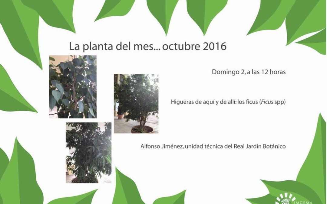 La planta del mes: Ficus