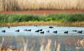 La focha común (Fulica atra) está incluida en la Directiva Aves.