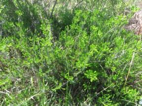 El brezal costero de la especie Erica vagans, Hábitat Prioritario 4040 que puede encontrarse en la Isla de Santa Marina.