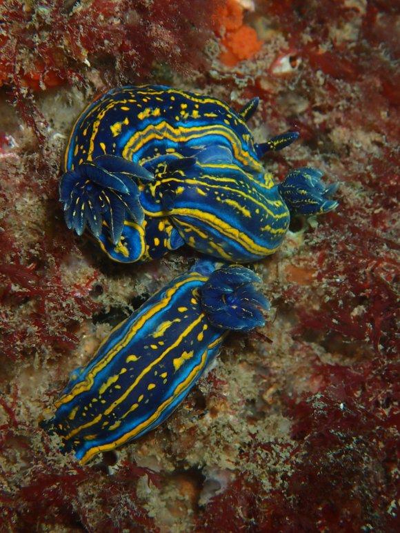 Hypselodoris cantabrica, una de las fotos ganadoras