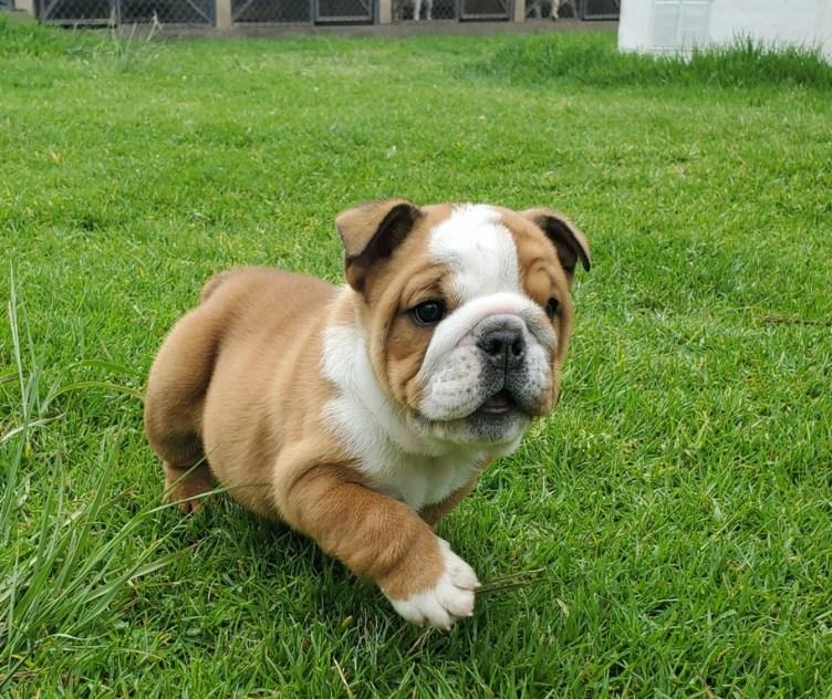 Cachorro Bulldog Macho