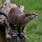 Amika, Krafttier Otter