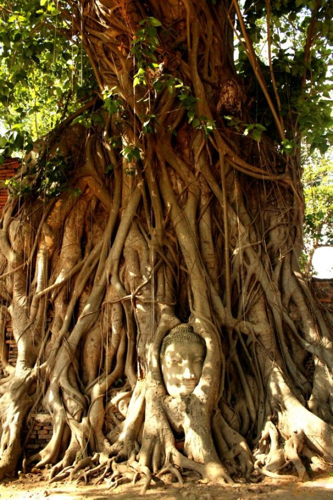 Wat Phra Mahathat – Buddha's head in the tree