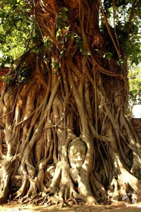 Buddha head in tree where is it Ayutthaya