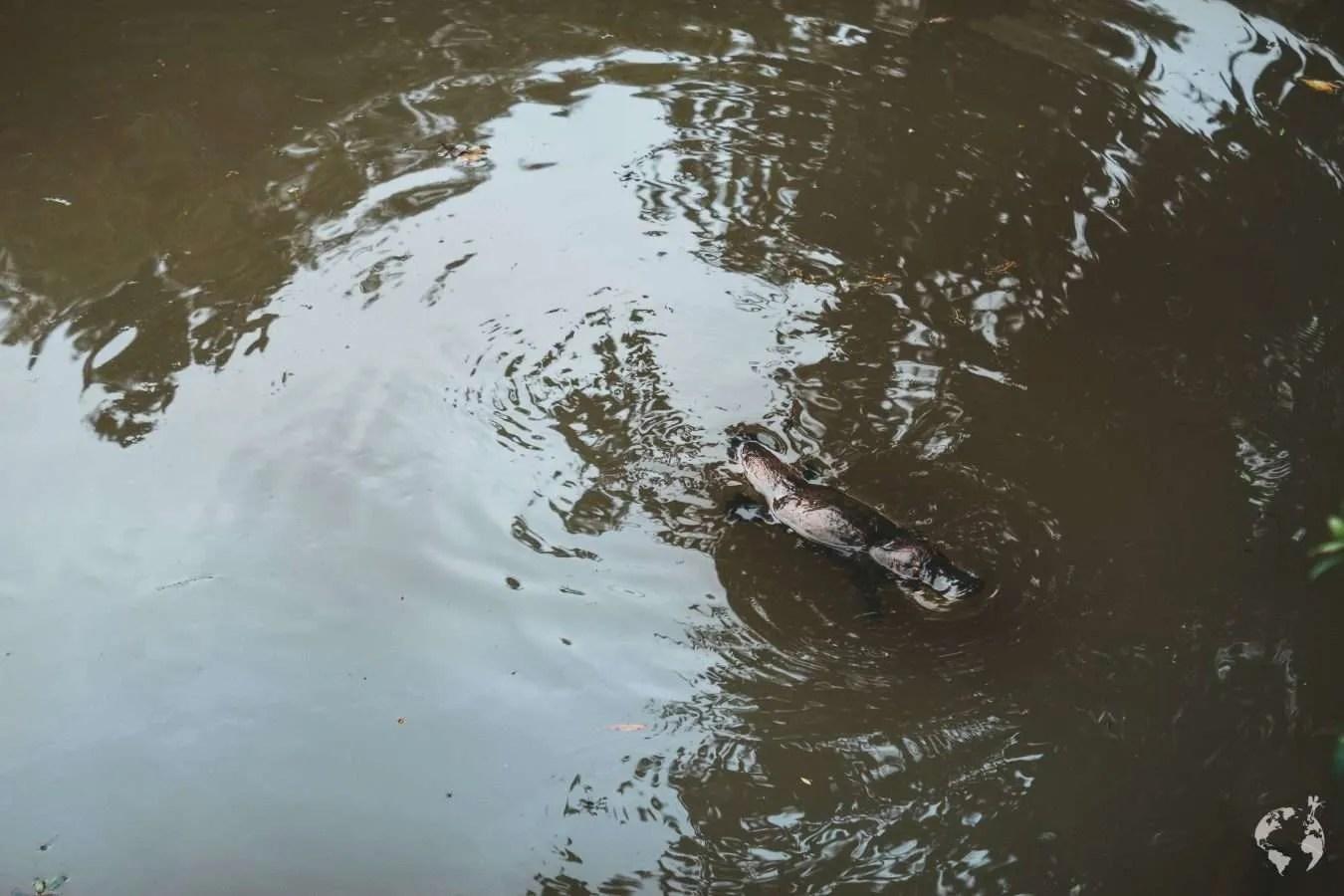 Platypus yungaburra tablelands