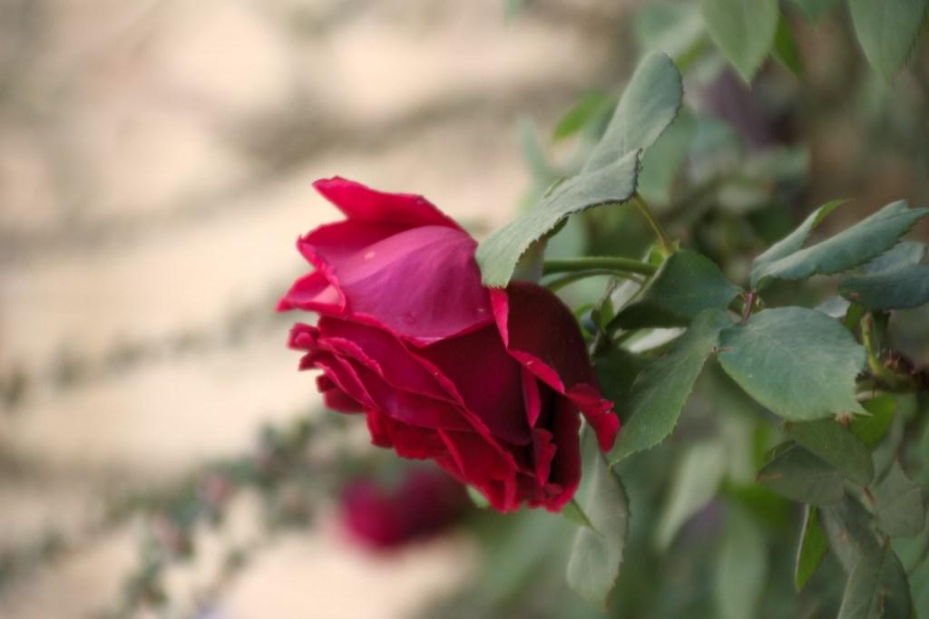 baba_rose_1