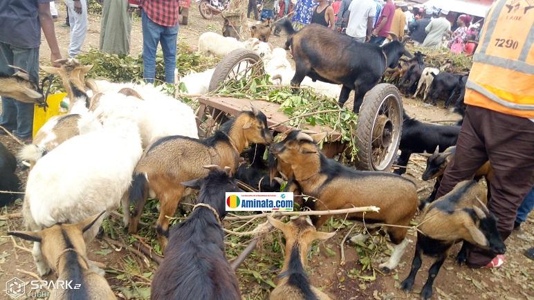 Des troupeaux des chèvres et des moutons