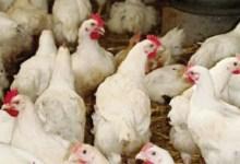 Une ferme avicole