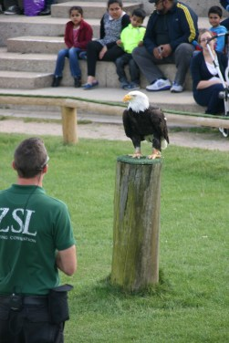 Apparently this Bald Eagle can lift it's own body weight and fly away. How much does Joshie way...