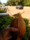 drinking coconut water fresh from the source!
