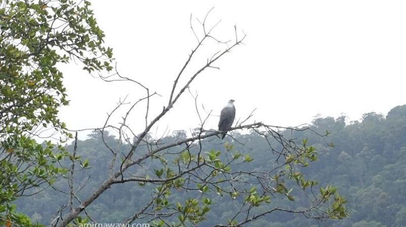 Antara burung helang yang saya jumpai