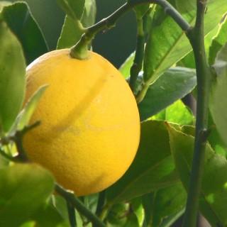 lemons-fancy