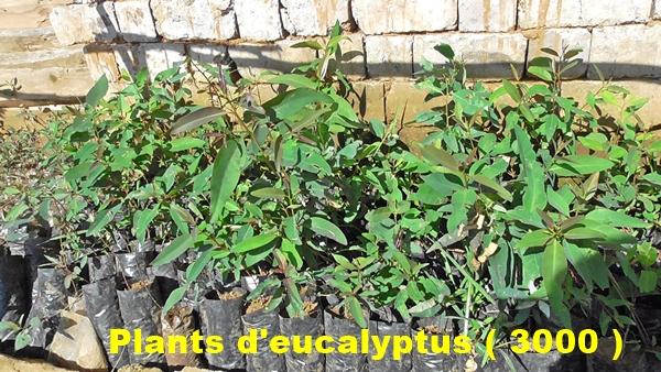 Plants d'eucalyptus pour reboiser le site en 2016