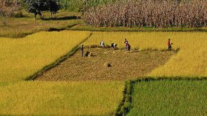 rizière : ramassage du riz