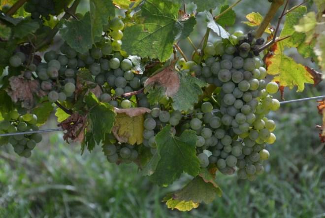 Pinot Noir Traube im Weinberg vom Campingplatz