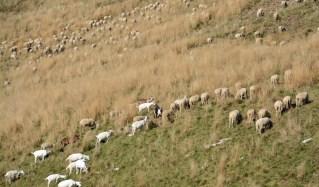 Schwarze Ziege unter Schafen