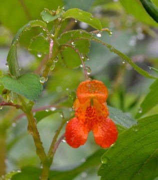 Jewel weed, also known as Touch-me-not