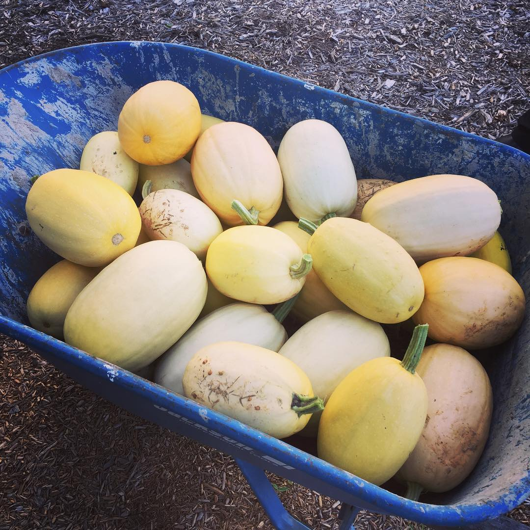 Spaghetti Squash in a wheelbarrow from the beginner's vegetable garden - about 50 total.