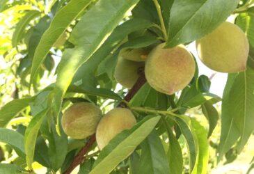 how to grow peach trees