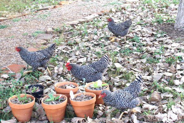 free range Barred rock backyard chickens