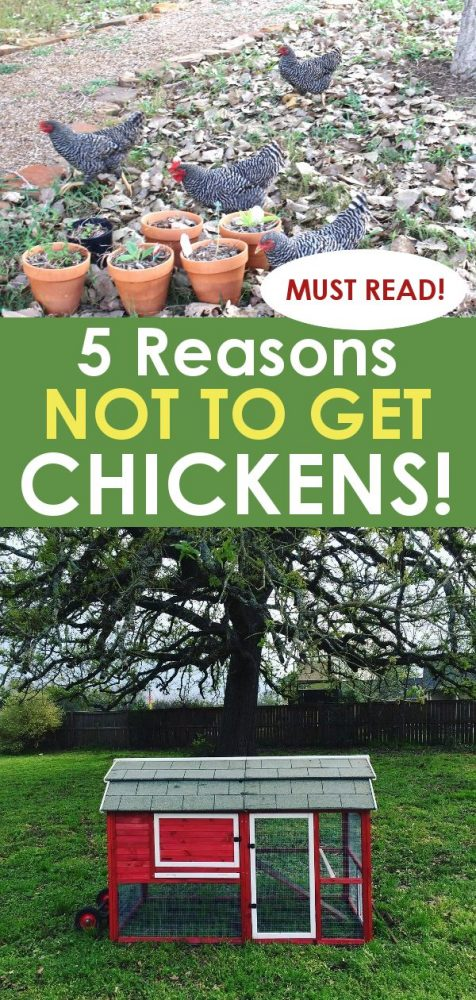 should you get backyard chickens? Read this first!