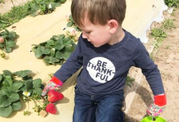 Young child strawberry picking