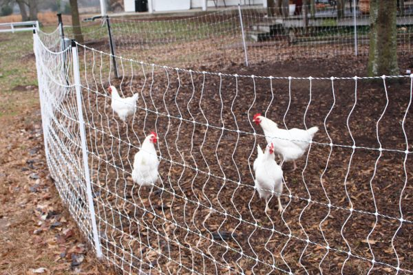 White plymouth rock backyard chickens in range yard.