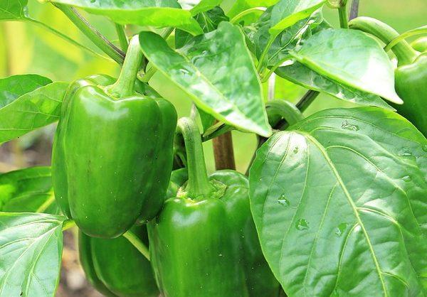 starting pepper seeds indoors