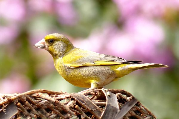 photo of greenfinch in yard
