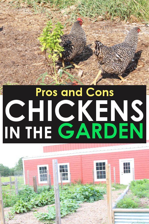 vegetable garden with free range chickens