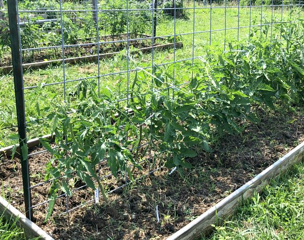 Tomato plants trellised on cattle panel metal