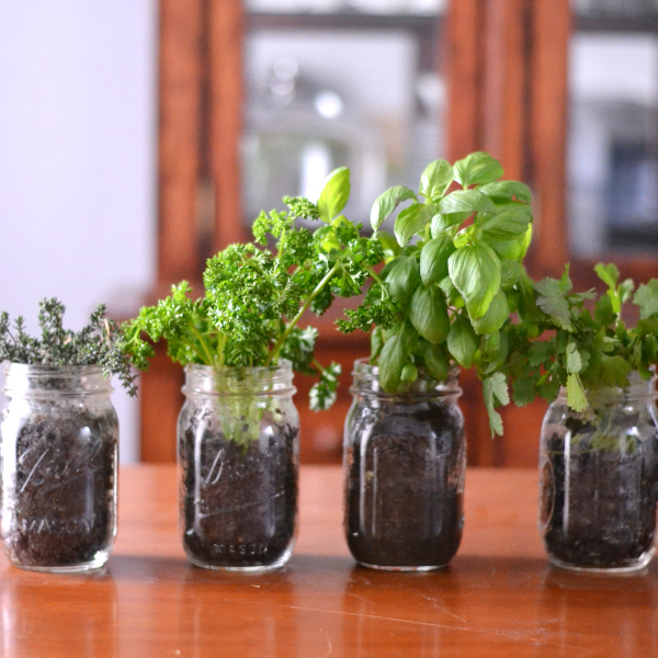 Indoor herb gardening with herbs in mason jars