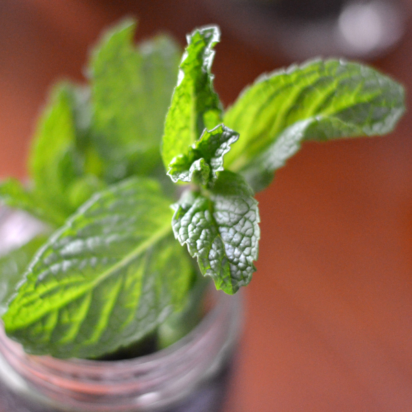 indoor herb gardening with Mint in a mason jar