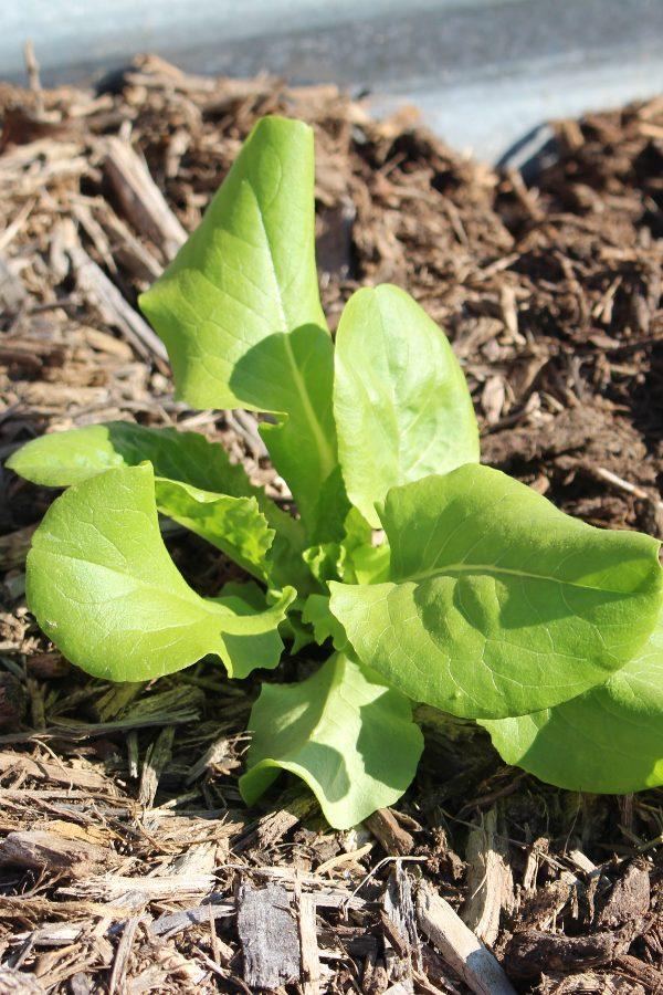 baby lettuce leaves in raised garden bed