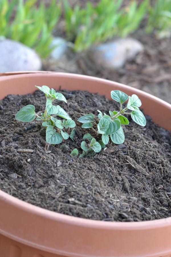 oregano planted in a pot