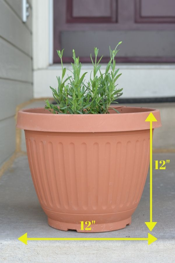 perennial herb planted in a large container for gardening