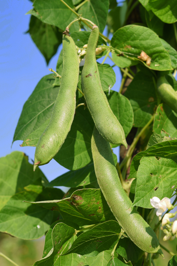 green beans growing on a vine outside