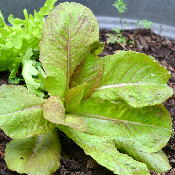 loose leaf lettuce growing in a container