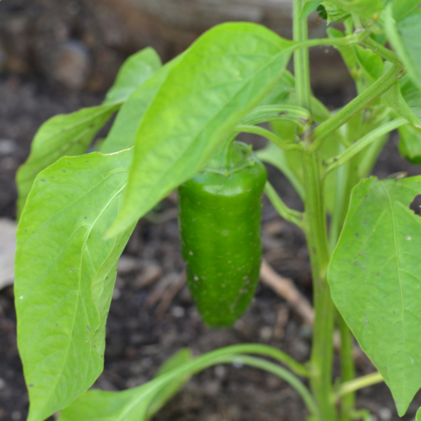 peppers maturing on the plant in a raised garden bed