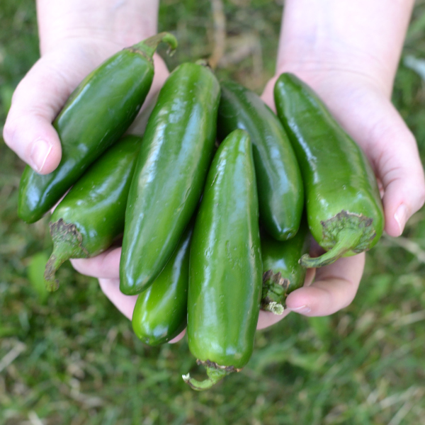 harvested jalapeno peppers from the garden in hands