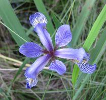 Iris versicolor (blue flag)
