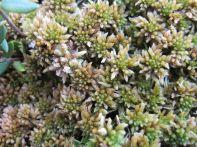 Sphagnum sp. (moss)